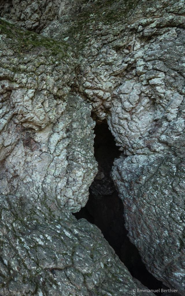 Chêne pédonculé, arbre millénaire, Concoret, forêt de Brocéliande, Morbihan (56), Bretagne