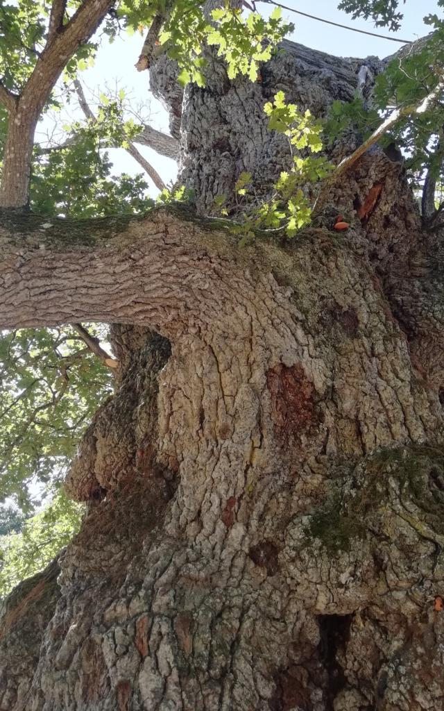 arbre millénaire, forêt de brocéliande, Concoret, Morbihan, Bretagne