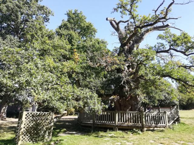 chêne millénaire, arbre remarquable, oncoret, brocéliande, Morbihan, Bretagne