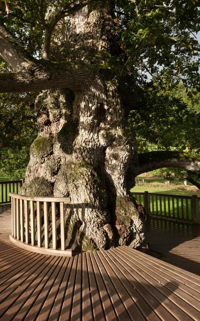 arbre remarquable, patriarche de la forêt de Brocéliande et chargée d'histoire et de légendes, Concoret, Morbihan (56), Bretagne