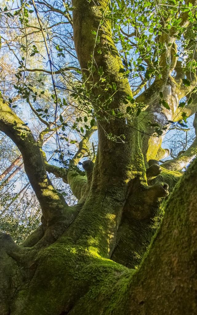 arbre de brocéliande