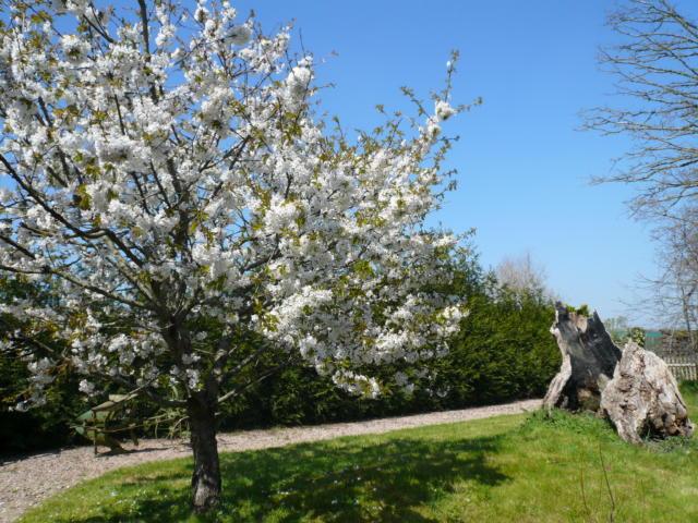 Cerisier en fleurs au jardin de Brocéliande