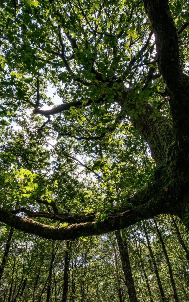 Arbre en forêt de Brocéliande