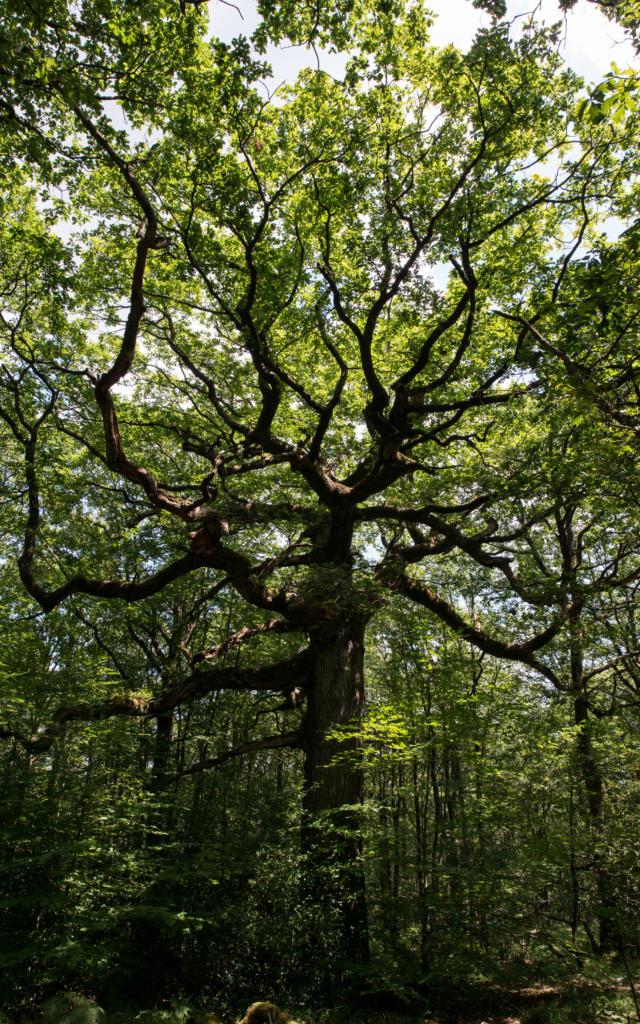 Chêne des Hindres en forêt de Brocéliande