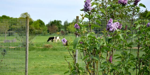 Lilas et vache pie noire