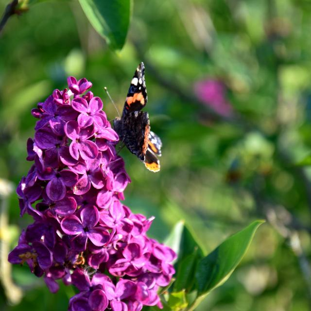 Lilas Papillon Jardins Broceliande 2020